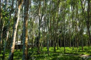 Field of Para Rubber Tree