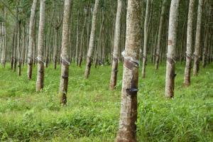 CKH 1123 - Soutenir la filière du bois d'hévéa au Cambodge
